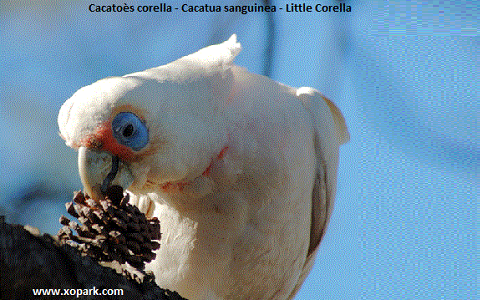 6Cacatoès-corella—Cacatua-sanguinea—Little-Corella