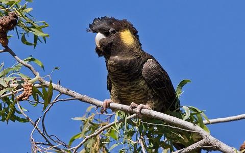 6Cacatoès-funèbre—Calyptorhynchus-funereus—Yellow-tailed-Black-Cockatoo