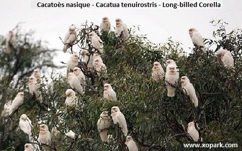 6Cacatoès-nasique—Cacatua-tenuirostris—Long-billed-Corella