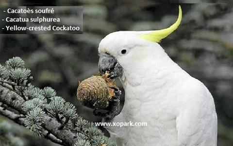 6Cacatoès-soufré—Cacatua-sulphurea—Yellow-crested-Cockatoo