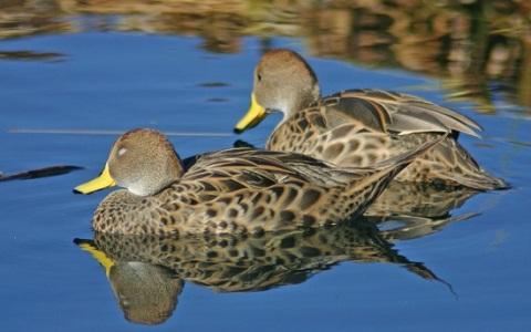 6Canard-à-queue-pointue—Anas-georgica—Yellow-billed-Pintail