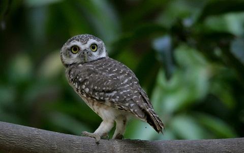 6Chevêche-brame—Athene-brama—Spotted-Owlet
