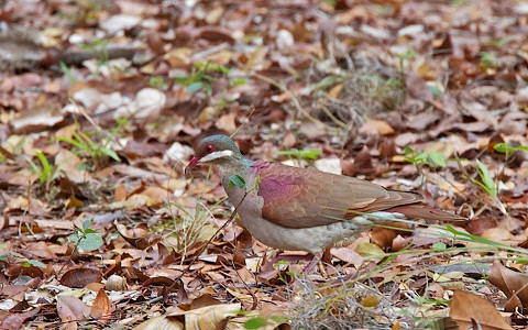 6Colombe-à-joues-blanches—Geotrygon-chrysia —Key-West-Quail-Dove