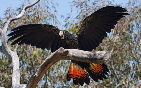 Red-tailed Black Cockatoo – Free Flight Bird Show – Taronga Zoo
