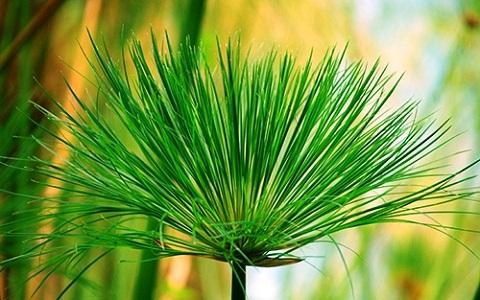 6Papyrus-Cyperus-papyrus