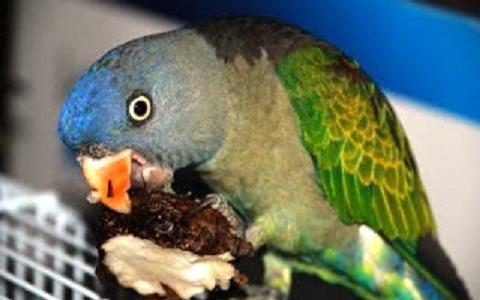 6Perruche-à-croupion-bleu—Psittinus-cyanurus—Blue-rumped-Parrot