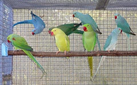 6Perruche-alexandre—Psittacula-eupatria—Alexandrine-Parakeet