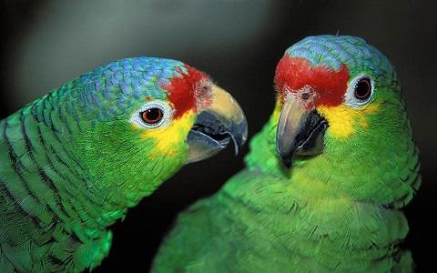6Perruche-de-Buru—Tanygnathus-gramineus—Black-lored-Parrot