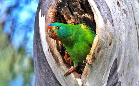 6Perruche-de-Latham—Lathamus-discolor—Swift-Parrot
