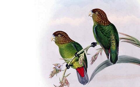 6Perruche-de-Madarasz—Psittacella-madaraszi—Madarasz_s-Tiger-Parrot