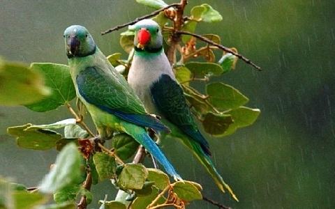 6Perruche-de-Malabar—Psittacula-columboides—Blue-winged-Parakeet