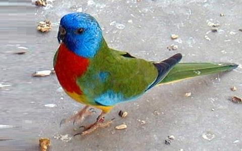 6Perruche-splendide—Neophema-splendida—Scarlet-chested-Parrot