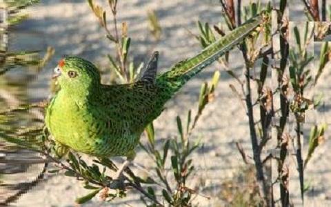 6Perruche-terrestre—Pezoporus-wallicus—Eastern-Ground-Parrot