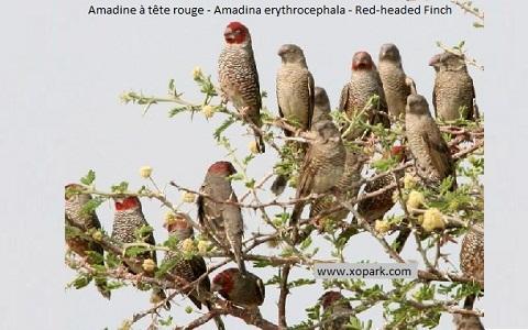 7Amadine-à-tête-rouge—Amadina-erythrocephala—Red-headed-Finch