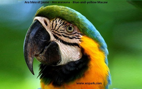 7Ara-bleu-et-jaune—Ara-ararauna—Blue-and-yellow-Macaw