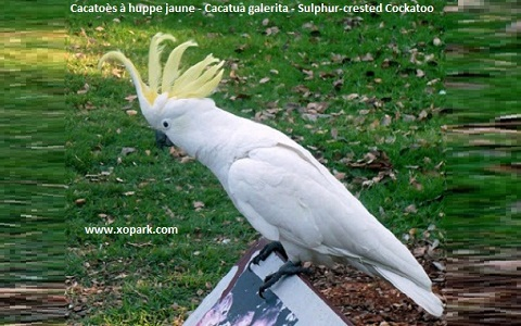 7Cacatoès-à-huppe-jaune—Cacatua-galerita—Sulphur-crested-Cockatoo