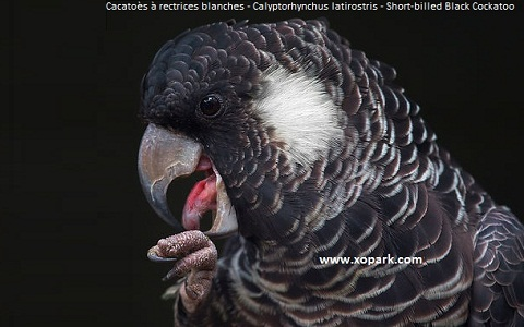 Carnaby's Black-Cockatoo