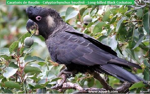7Cacatoès-de-Baudin—Calyptorhynchus-baudinii—Long-billed-Black-Cockatoo