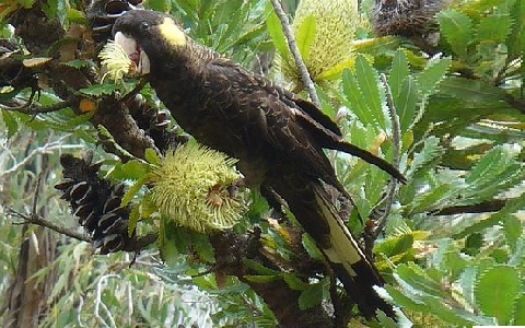 7Cacatoès-funèbre—Calyptorhynchus-funereus—Yellow-tailed-Black-Cockatoo