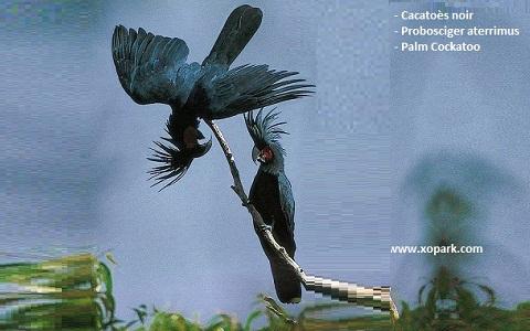 7Cacatoès-noir—Probosciger-aterrimus—Palm-Cockatoo