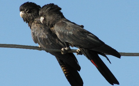 7Glossy-Black-Cockatoo—Calyptorhynchus-lathami—Cacatoès-de-Latham