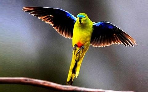 7Perruche-à-ventre-orange—Neophema-chrysogaster—Orange-bellied-Parrot