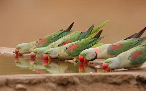 7Perruche-alexandre—Psittacula-eupatria—Alexandrine-Parakeet