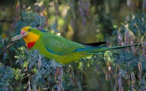 7Perruche-de-Barraband—Polytelis-swainsonii—Superb-Parrot
