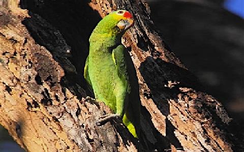 7Perruche-de-Buru—Tanygnathus-gramineus—Black-lored-Parrot