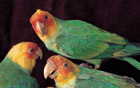 7Perruche-de-Caroline—Conuropsis-carolinensis—Carolina-Parakeet