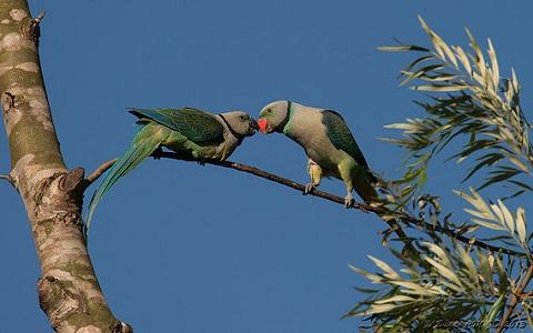 7Perruche-de-Malabar—Psittacula-columboides—Blue-winged-Parakeet