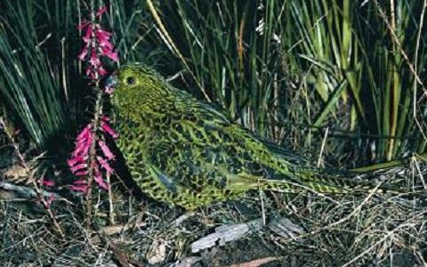 7Perruche-terrestre—Pezoporus-wallicus—Eastern-Ground-Parrot