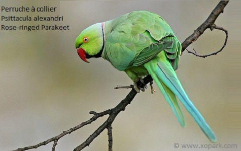 7perruche-à-collier—Psittacula-alexandri—Red-breasted-Parakeet