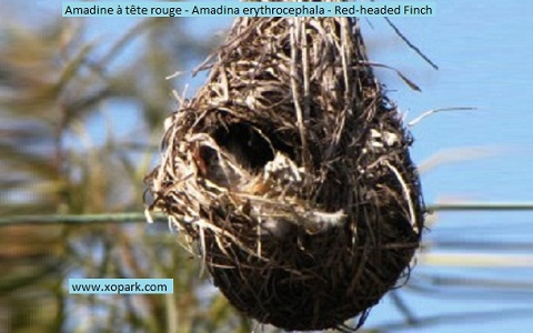 8Amadine-à-tête-rouge—Amadina-erythrocephala—Red-headed-Finch