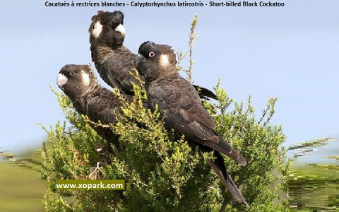 8Cacatoès-à-rectrices-blanches—Calyptorhynchus-latirostris—Short-billed-Black-Cockatoo