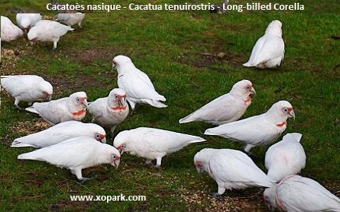 8Cacatoès-nasique—Cacatua-tenuirostris—Long-billed-Corella