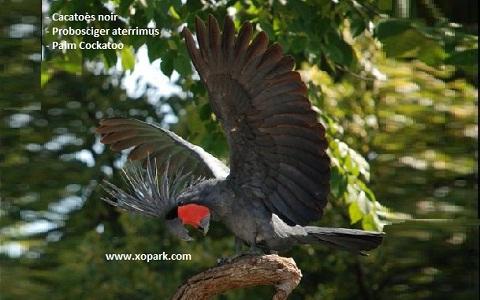 8Cacatoès-noir—Probosciger-aterrimus—Palm-Cockatoo