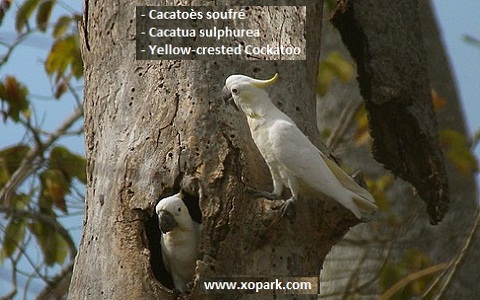 8Cacatoès-soufré—Cacatua-sulphurea—Yellow-crested-Cockatoo
