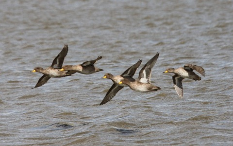 8Canard-à-queue-pointue—Anas-georgica—Yellow-billed-Pintail