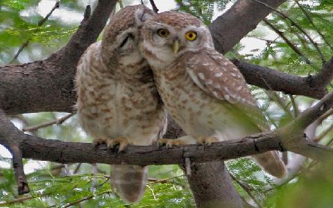 8Chevêche-brame—Athene-brama—Spotted-Owlet