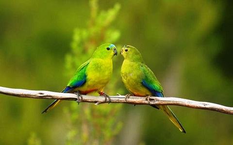 8Perruche-à-ventre-orange—Neophema-chrysogaster—Orange-bellied-Parrot