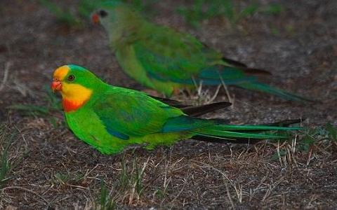 8Perruche-de-Barraband—Polytelis-swainsonii—Superb-Parrot