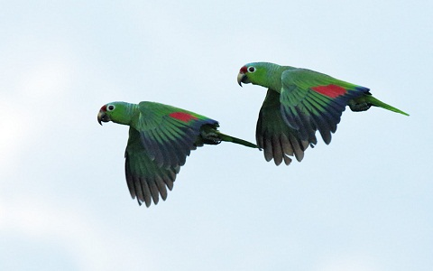 8Perruche-de-Buru—Tanygnathus-gramineus—Black-lored-Parrot