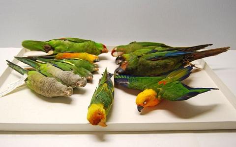 8Perruche-de-Caroline—Conuropsis-carolinensis—Carolina-Parakeet