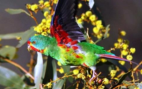 8Perruche-de-Latham—Lathamus-discolor—Swift-Parrot