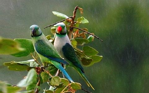 8Perruche-de-Malabar—Psittacula-columboides—Blue-winged-Parakeet