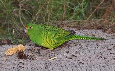 8Perruche-terrestre—Pezoporus-wallicus—Eastern-Ground-Parrot
