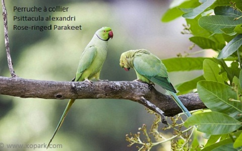 8perruche-à-collier—Psittacula-alexandri—Red-breasted-Parakeet