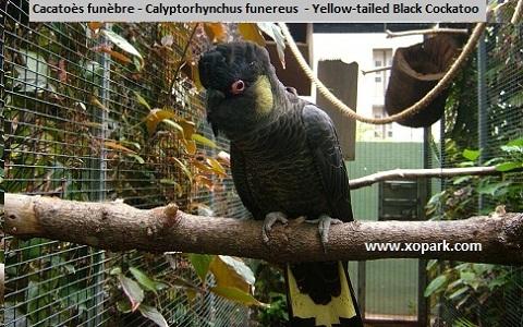 98Cacatoès-funèbre—Calyptorhynchus-funereus—Yellow-tailed-Black-Cockatoo