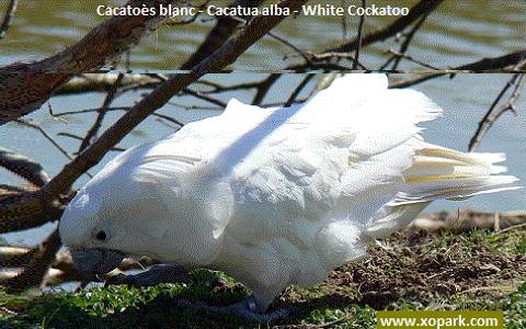 9Cacatoès-blanc—Cacatua-alba—White-Cockatoo